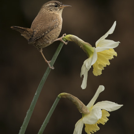 Wren and Spring Daffodils, Canon EOS 7D MARK II, Canon EF 300mm f/2.8L IS