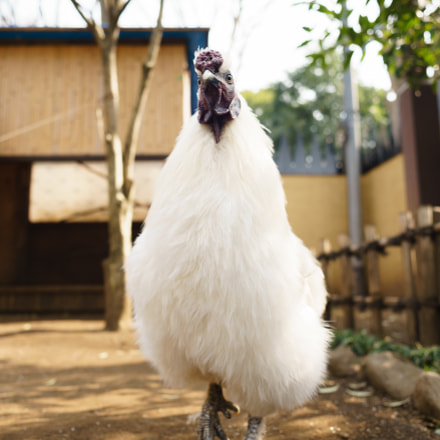 Rooster, Sony ILCE-7M2, Canon EF 24mm f/2.8