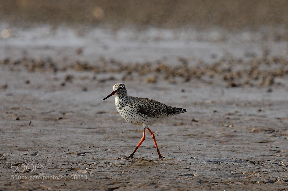 Photograph Common Redshank by Madhusudan  on 500px