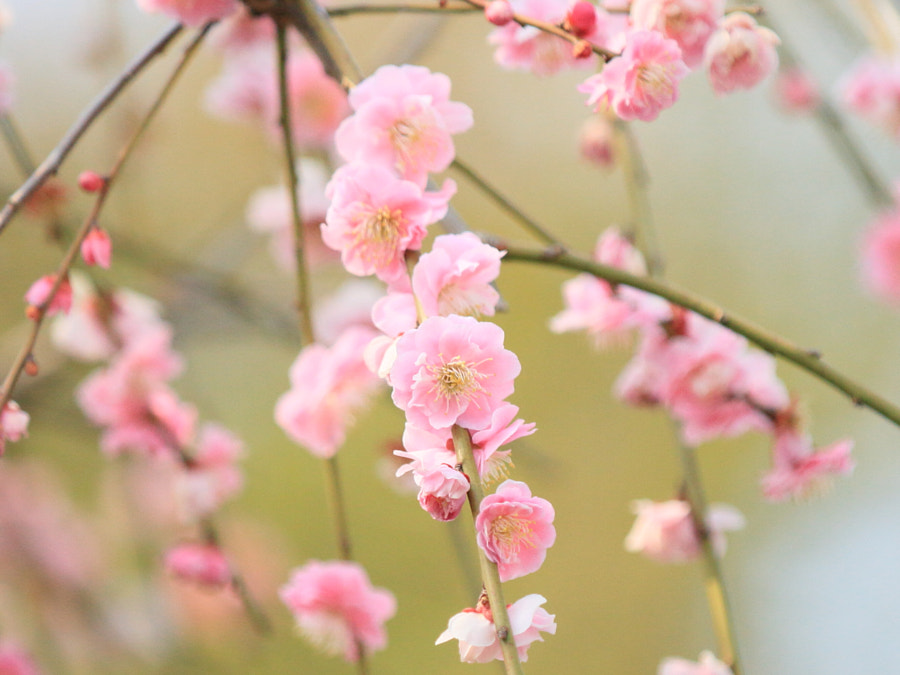 紅梅 Plum Flower Tree by TERUJI NOBE 野邊 on 500px.com