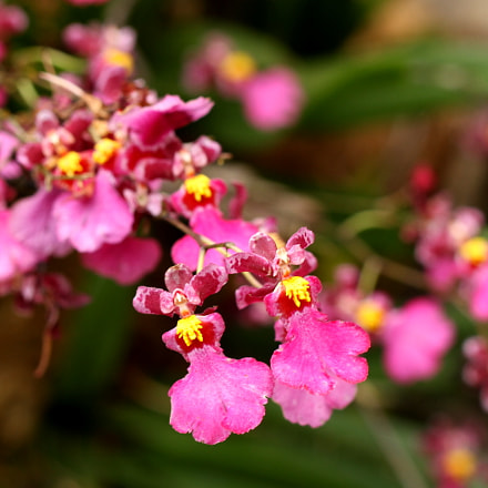 little little pink flowers, Canon EOS 7D, Tamron SP 60mm f/2 Macro Di II