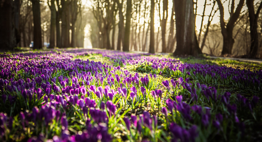 Carpet of Crocuses by NamtaN NamtaN on 500px.com