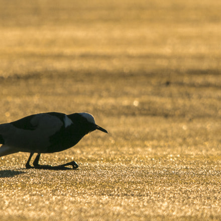 Golden Hour  Lapwing, Canon EOS 70D, Sigma 150-500mm f/5-6.3 APO DG OS HSM