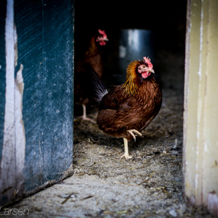 Rooster by Barn Door, Canon EOS 6D, Tamron SP 45mm f/1.8 Di VC USD