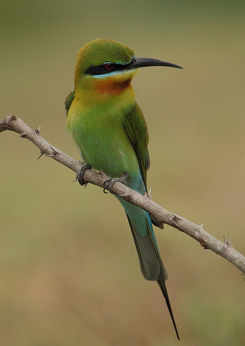 Photograph Blue Tailed Bee Eater by Madhusudan  on 500px