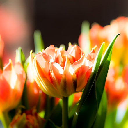 Tulips indoor, Canon EOS 7D MARK II, Canon EF 200mm f/2.8L II