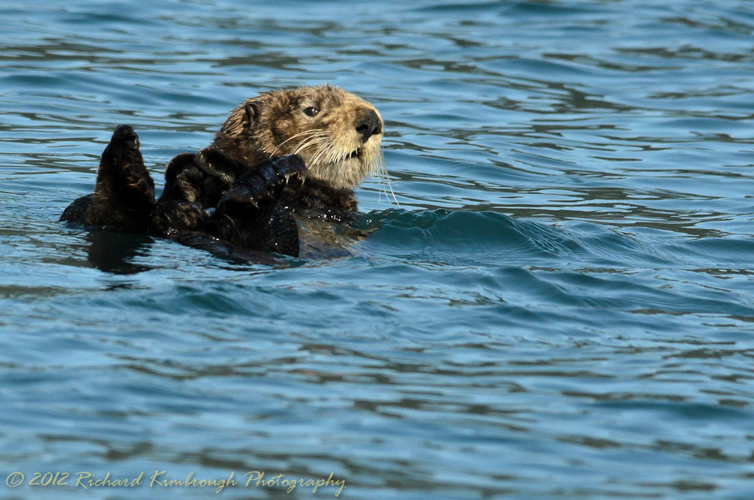 Photograph Sea Otter by Richard Kimbrough on 500px