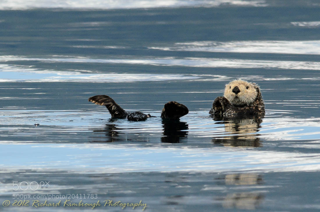Photograph Otter on his Own by Richard Kimbrough on 500px