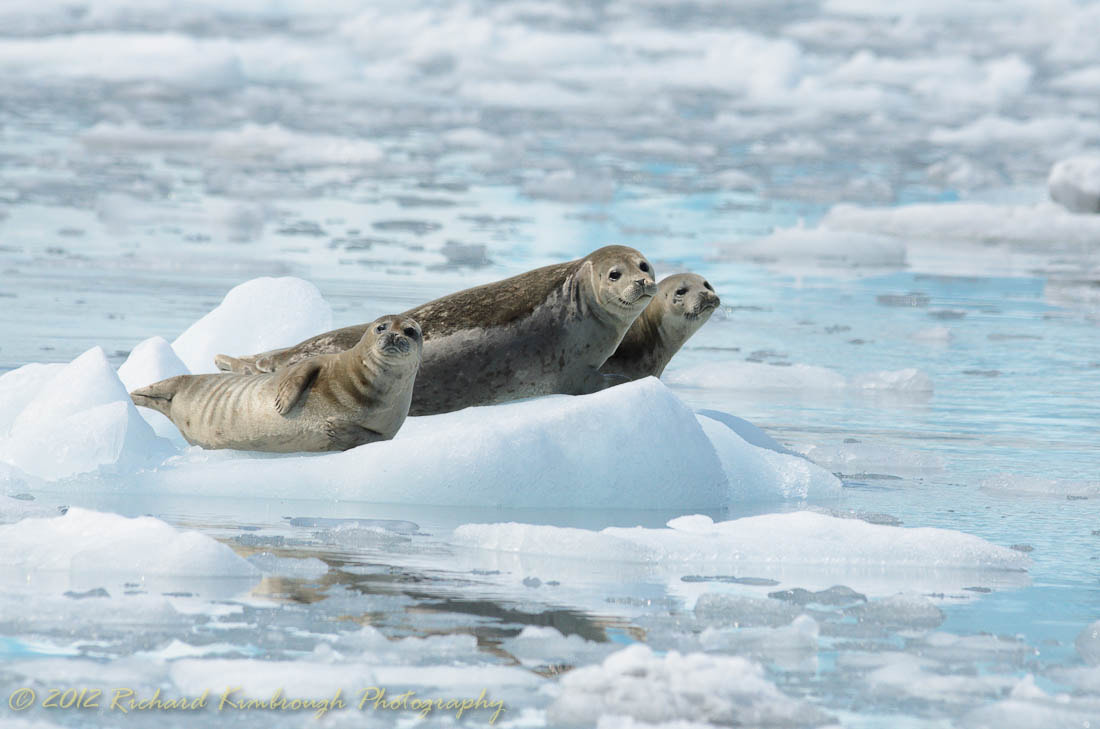 Photograph Seals Basking on the Ice by Richard Kimbrough on 500px