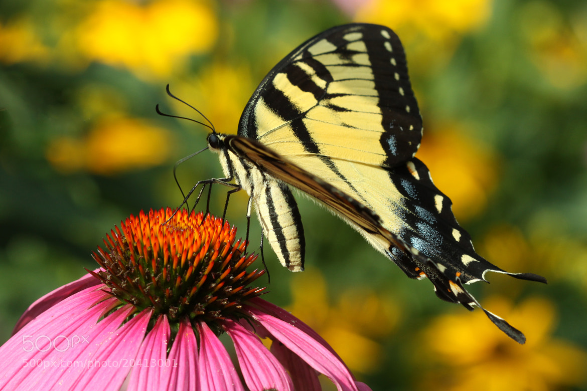Photograph A Tiger Swallowtail by Kenneth  Maurer on 500px