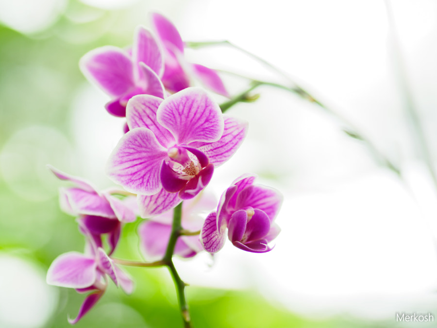Orchideen von merkosh auf 500px.com
