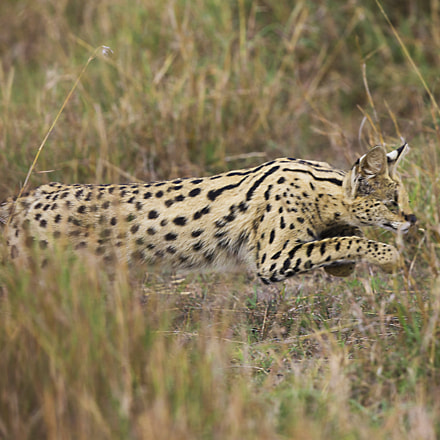 Serval hunting, Canon EOS-1D X
