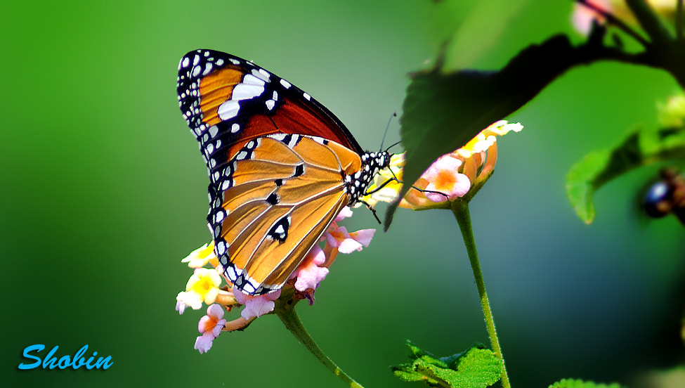 Photograph Butterfly by Shobin George on 500px