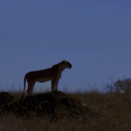 Lioness and sunset, Canon EOS-1D X