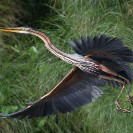 Purple Heron Flight, Nikon D500, AF-S VR Zoom-Nikkor 200-400mm f/4G IF-ED