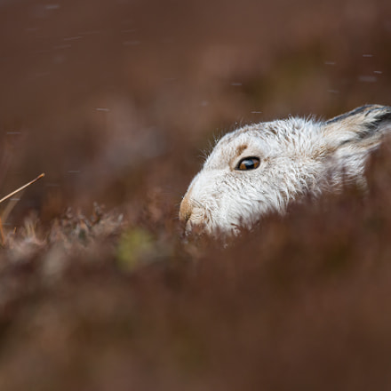 Hiding in the heather, Nikon D800, AF-S VR Zoom-Nikkor 200-400mm f/4G IF-ED