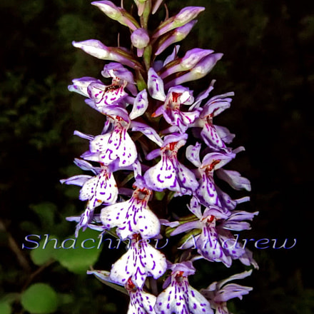 Northern orchid - Dactylorhiza, Canon POWERSHOT A590 IS