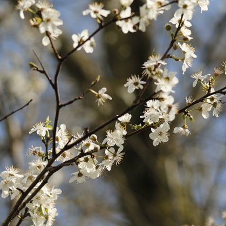 Plum tree with flowers, Canon EOS 70D, Sigma 150-500mm f/5-6.3 APO DG OS HSM