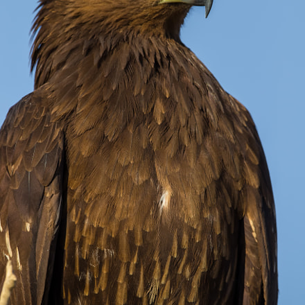 Greater spotted eagle/ عقاب منقط كبير , Canon EOS 7D MARK II, Canon EF 500mm f/4L IS II USM
