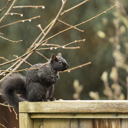 Wet Black Squirrel!