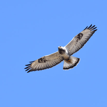 Rough legged buzzard, Nikon D500, Sigma APO 500mm F4.5 EX DG HSM