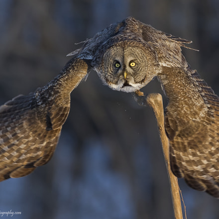 Great Gray Owl, Nikon D3S, AF-S Nikkor 500mm f/4D IF-ED II