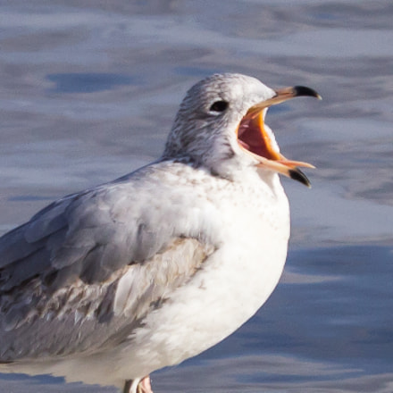 Ring-billed gull yawning, Canon EOS REBEL T3I, Canon EF-S 55-250mm f/4-5.6 IS STM