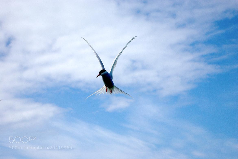 Photograph My Tern by Dave Binyon on 500px