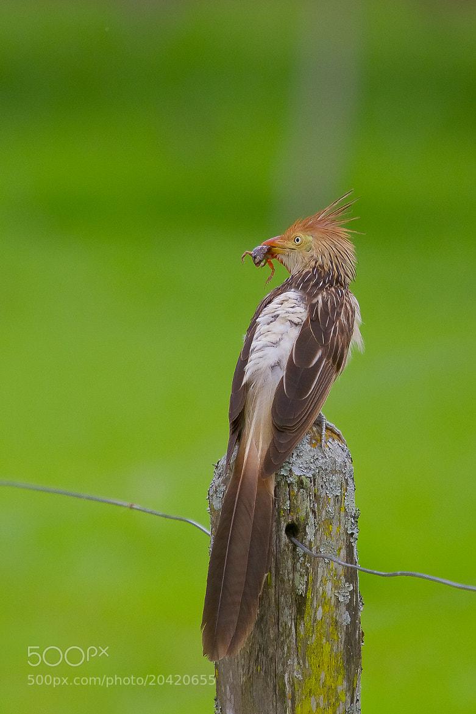 Photograph Guira Cuckoo (Guira guira) by Bertrando Campos on 500px