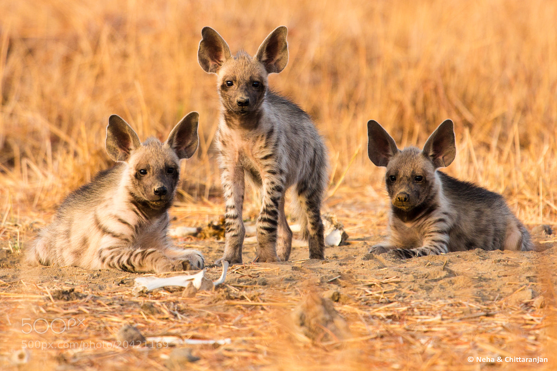 Photograph Striped Hyena Cubs by Neha & Chittaranjan Desai on 500px