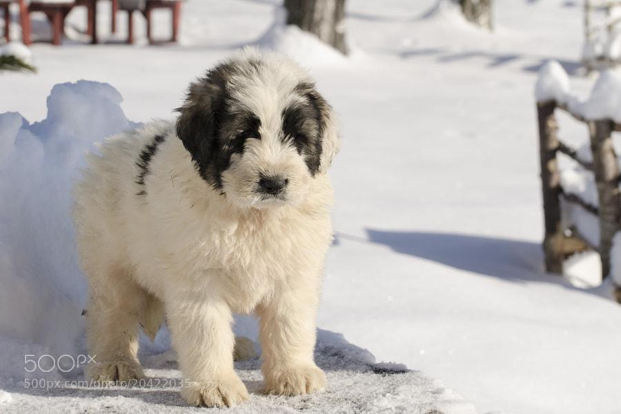 Mioritic puppy m1 by Petru Mustea (petru_mustea)) on 500px.com