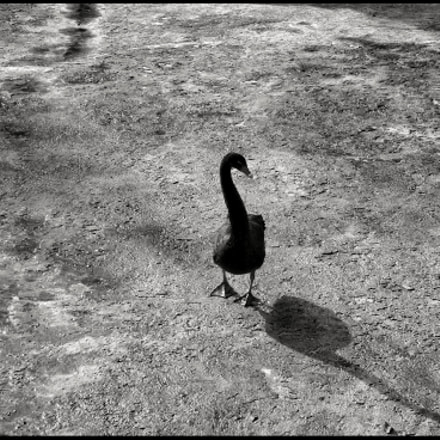 Black swan #1, Panasonic DMC-TZ80