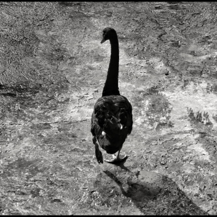 Black swan #2, Panasonic DMC-TZ80