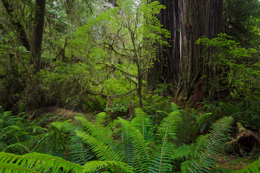Photograph Redwood Forest by Ned Fenimore on 500px