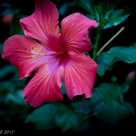 Red Hibiscus, Canon EOS 100D, Canon EF 50mm f/1.4 USM