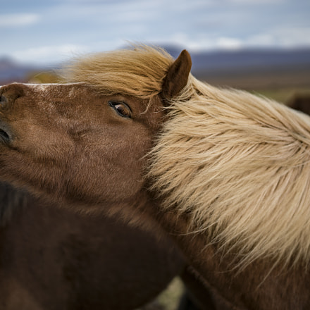 Iceland horse, Sony ILCE-7RM2