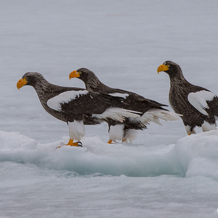Eagles on Ice, Nikon D4S, AF-S VR Zoom-Nikkor 200-400mm f/4G IF-ED