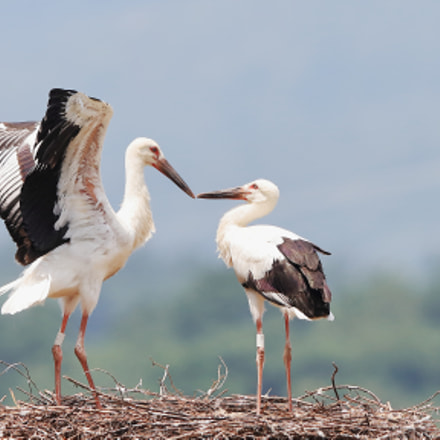 Oriental stork, Canon EOS 5DS R, Canon EF 400mm f/2.8L IS II USM