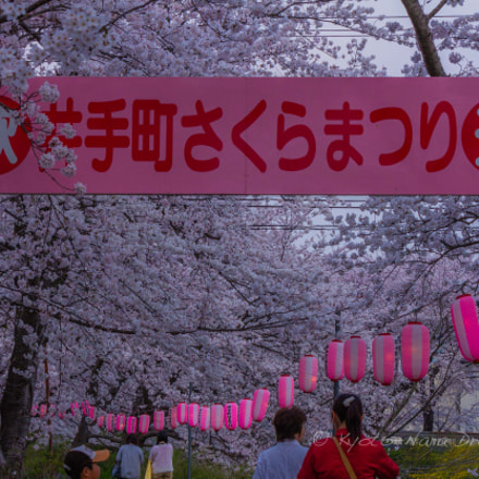 Sakura on The Banks, Canon EOS 60D, Canon EF-S 55-250mm f/4-5.6 IS II