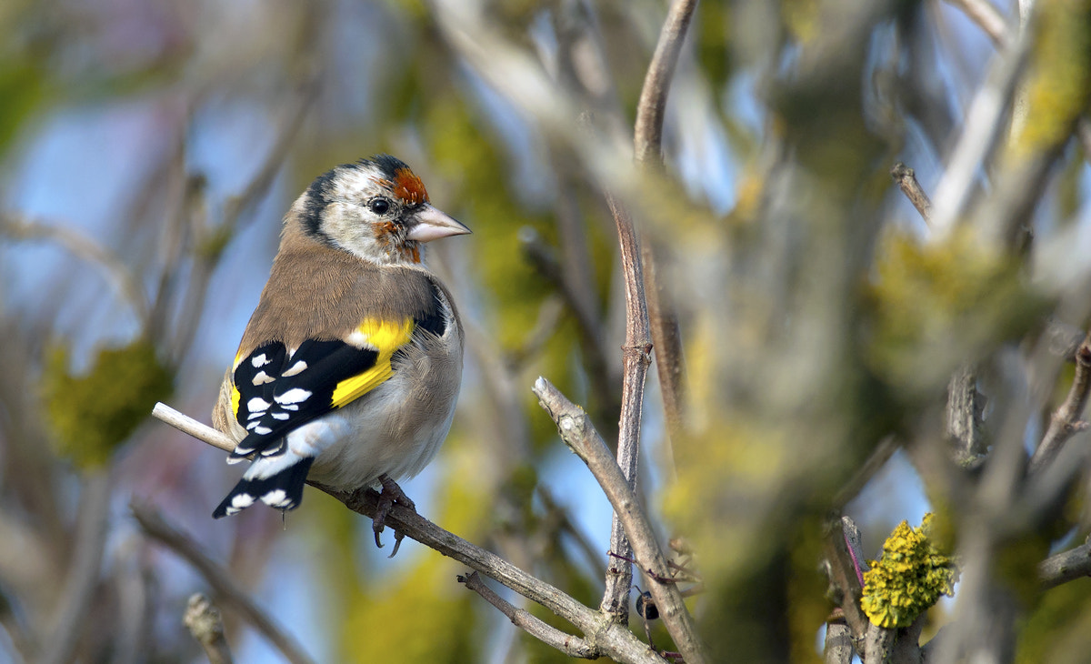 Photograph Goldfinch by Janis von Heyking on 500px