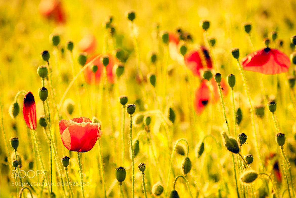 Photograph Poppies in Gold by S. S. on 500px