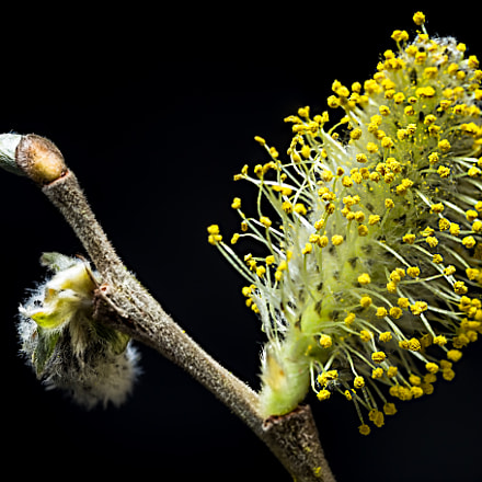 Willow catkin, Canon EOS 6D, Sigma 105mm f/2.8 Macro EX