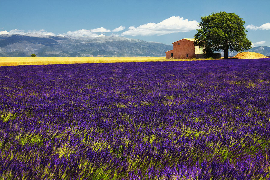 Photograph The Lavender Fields of Provence by Sam Dobson on 500px
