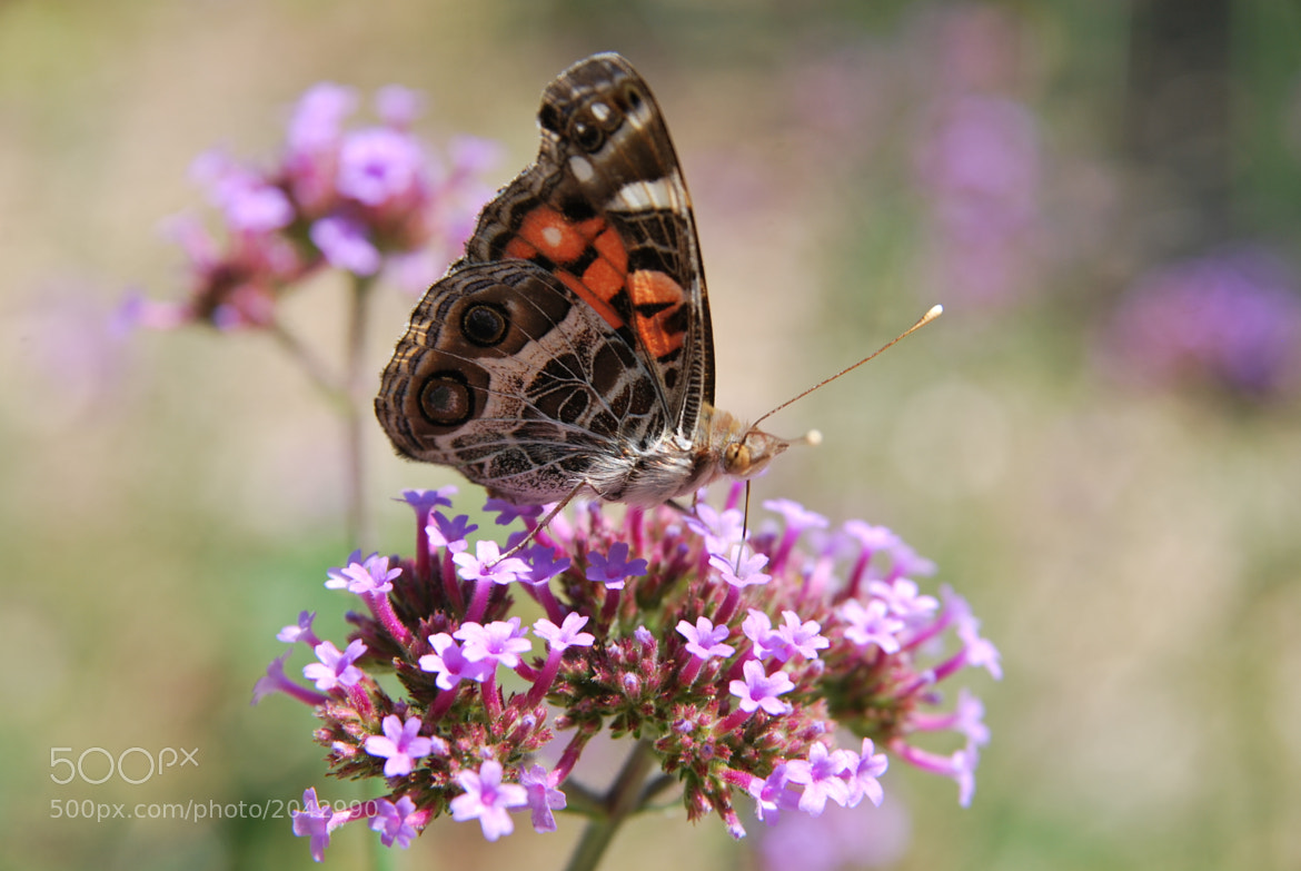 Photograph American Painted Lady Butterfly by Linda Trine on 500px