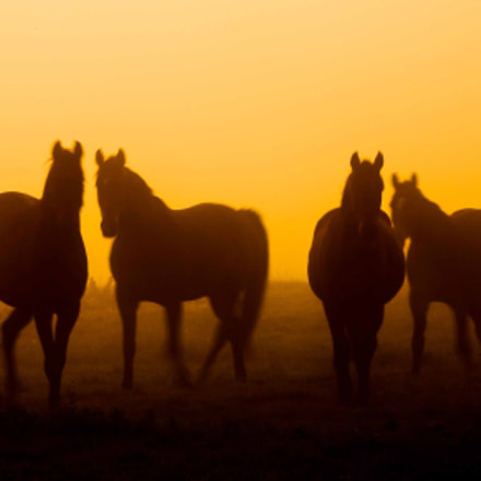 horses in sunrise, Canon EOS 5D, Canon EF100-400mm f/4.5-5.6L IS USM