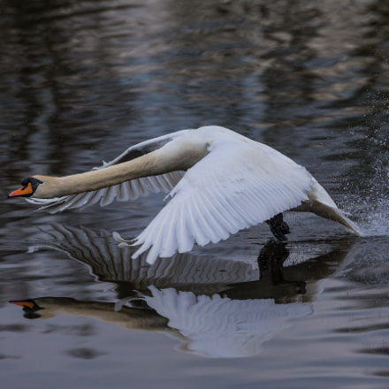 swan..., Canon EOS-1D X, Canon EF 300mm f/2.8L IS II USM