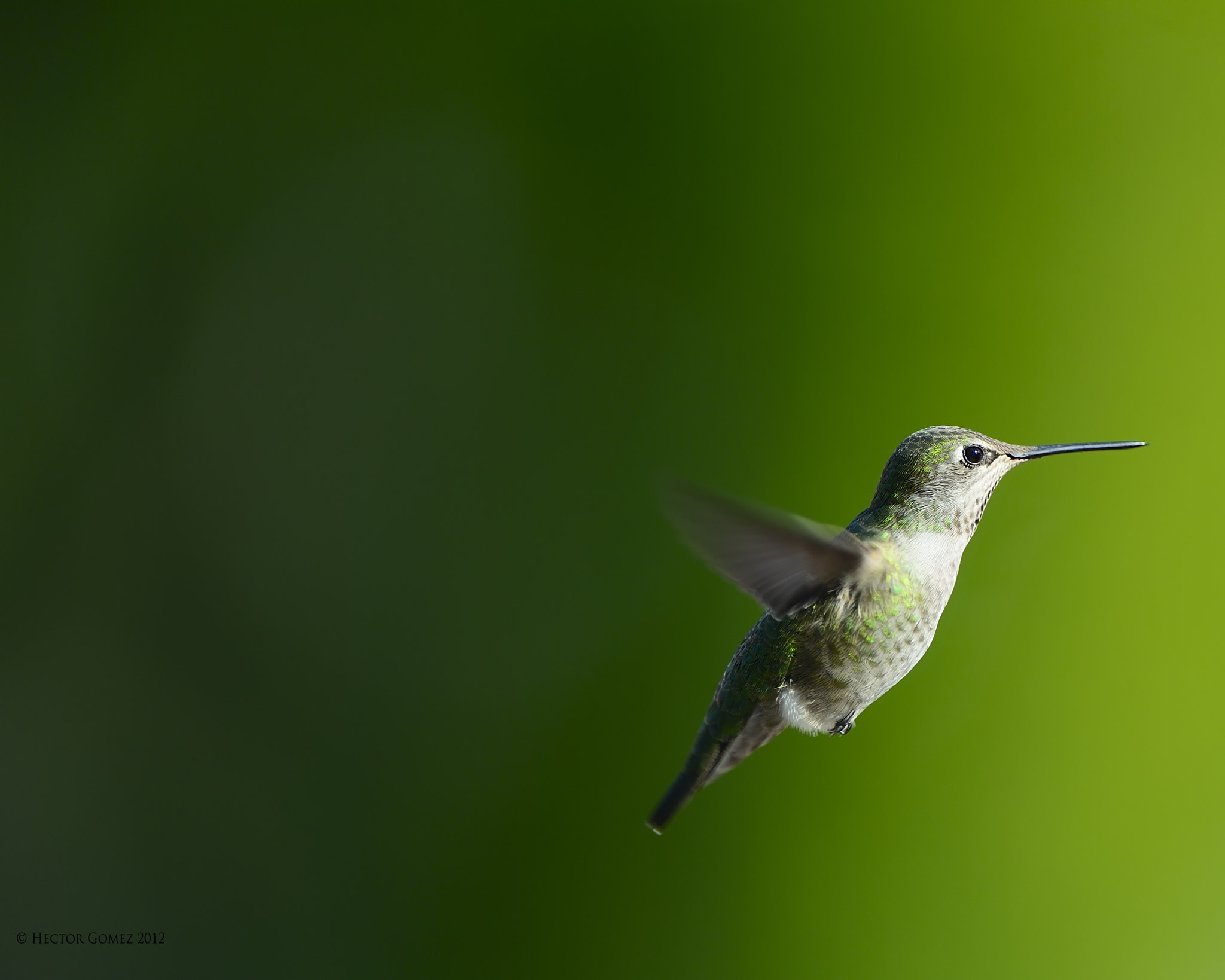 Photograph Hummingbird by Hector Gomez on 500px