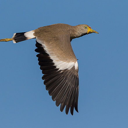 Wattled Plover, Canon EOS 7D MARK II, Canon EF 500mm f/4L IS II USM