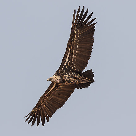 Ruppell's Vulture, Canon EOS 7D MARK II, Canon EF 500mm f/4L IS II USM