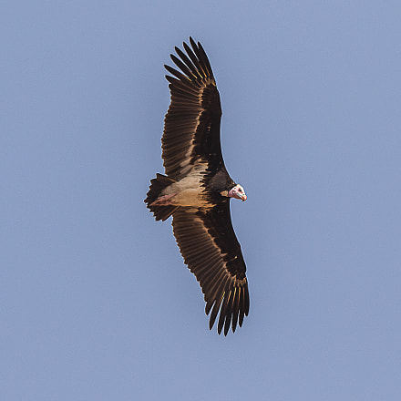 White headed Vulture, Canon EOS 7D MARK II, Canon EF 500mm f/4L IS II USM